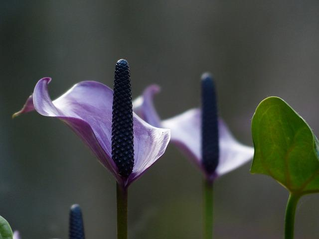 Vad man ska veta om Araceae